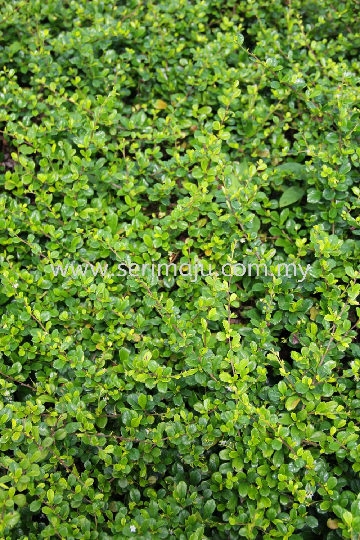 Ehretia Microphylla Shrubs Malaysia, Johor, Muar Supplier, Supply, Wholesale, Wholesaler | Tapak Semaian Seri Maju Sdn Bhd