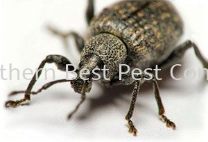 Weevil Control Weevil Control Johor Bahru (JB), Johor, Malaysia Service | Southern Best Pest Control Sdn Bhd