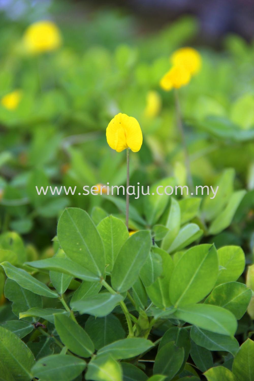 Arachis Pintoi Shrubs Malaysia, Johor, Muar Supplier, Supply, Wholesale, Wholesaler | Tapak Semaian Seri Maju Sdn Bhd