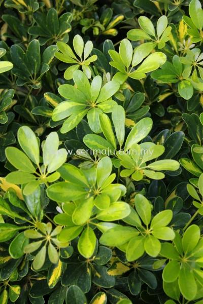"""Schefflera Arboricola """"Worthy"""""""
