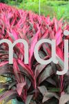 "Cordyline Fruticosa ""Firebrand"" Shrubs"