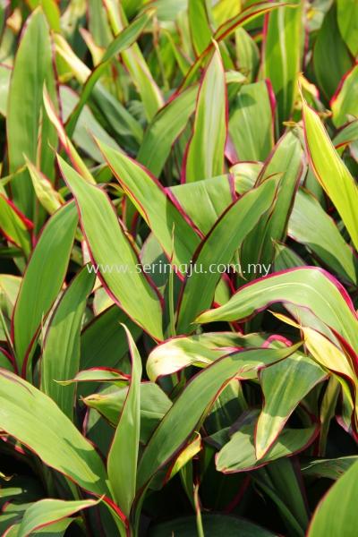 Cordyline Fruticosa Cultivars