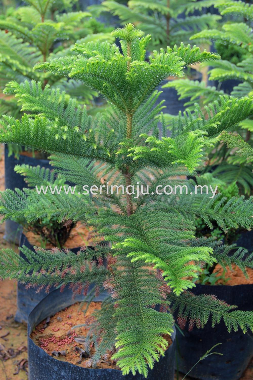 Araucaria Heterophylla Trees Malaysia, Johor, Muar Supplier, Supply, Wholesale, Wholesaler   Tapak Semaian Seri Maju Sdn Bhd