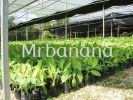 Banana Seedlings