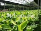 Banana Seedlings