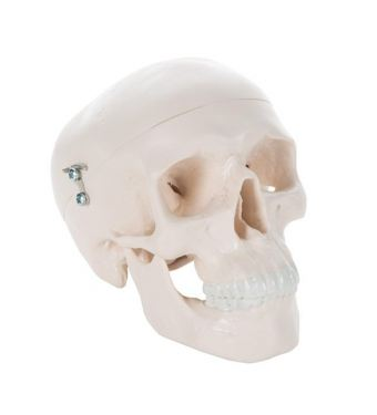 Mini Human Skull Model, 3 part - skullcap, base of skull, mandible