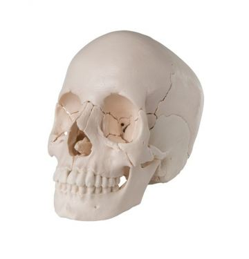 Beauchene Adult Human Skull Model - Bone Colored Version, 22 Part