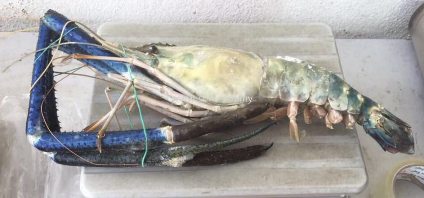 Fresh Water Prawn (Udang Galak)