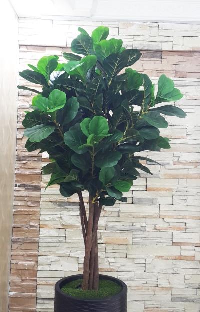 6 Ft Ficus Lyrata (FSA002)