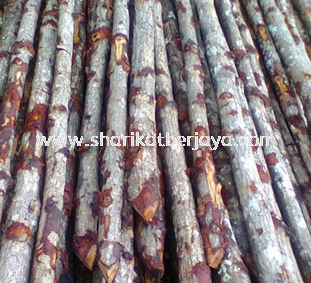 "Kayu Bakau 2 1/2"" up"