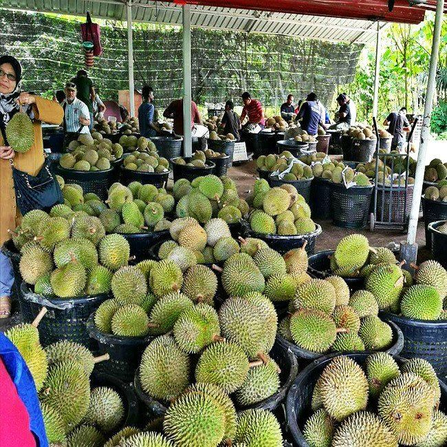 Raub Musang King enter low season TravelNews