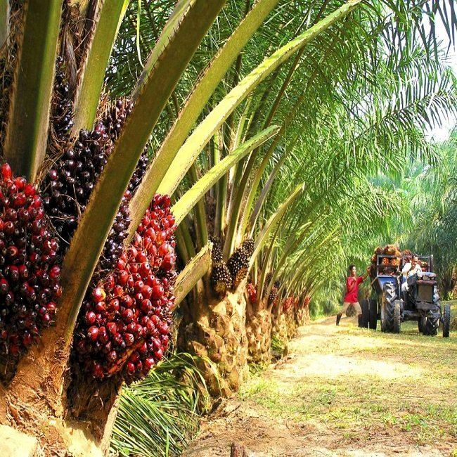 Planters urged Gov. to expand export palm oil, China may rescue the price M'sia News