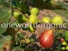 Brown Turkey Figs Varieties
