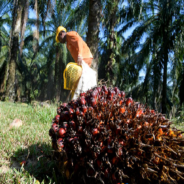China to buy additional 1.9 mil tonnes of Malaysian palm oil over 5 years China News