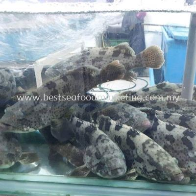 Green Grouper / ʯ�� / Kerapu Batu (sold per pcs)