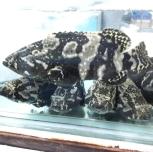 Hybrid Grouper / 龙虎斑 (sold per pcs)