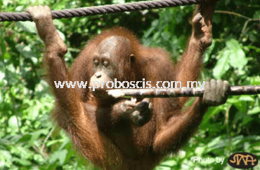 Sepilok Orang Utan Rehabilitation Centre Tour
