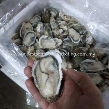 Oyster Half Shell / 半壳生蚝 / Tiram (Size 8cm-10cm)(sold per pcs)