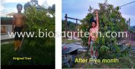 Durian testimonial (after 5 month result) Durian Tree Testimonial  Bio-S Fertilizer Testimonial