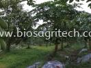 木瓜树使用有机肥料成果 Papaya Testimonial  Bio-S Fertilizer Testimonial