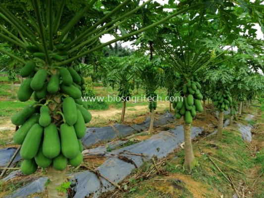 Papaya Tree after using General Black Fertilizer ; no chicken manure; 240 days tree very strong and lot of fruit. (very nice , WOW )