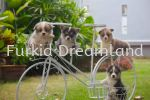 Corgi Puppies Corgi