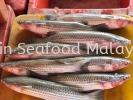 大乌鱼(Balanak) 大乌鱼(Balanak) Fresh Seafood (冰鲜海鲜)