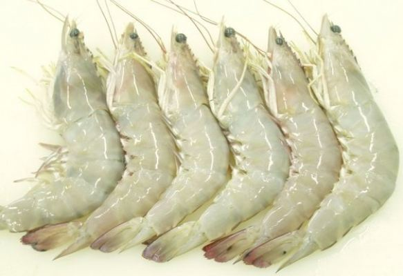 Sea White Prawn