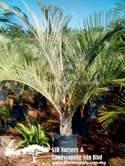 P010204 Butia Capitata (Jelly Palm, Wine Palm)