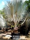 P010201 Bismarckia Nobilis 'Silver' (Silver Bismarck) Palms and Cycads