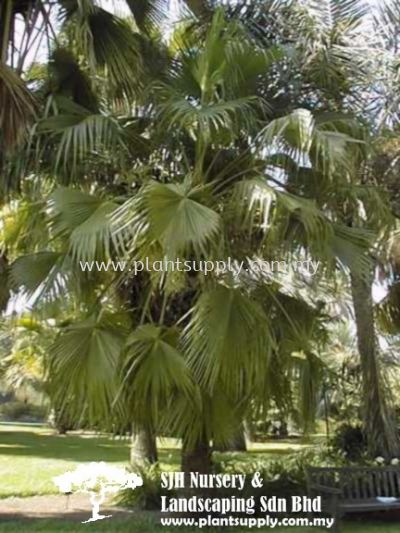 P010203 Brahea Edulis (Guadaloupe Palm)