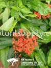 S050203 Ixora Javanica 'Red' Shrubs