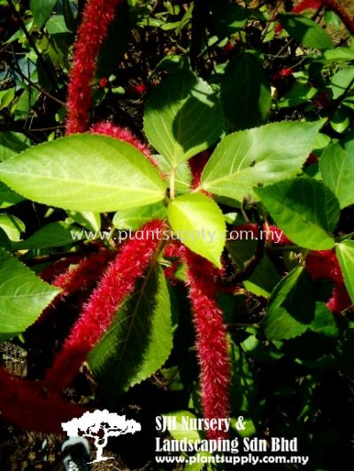 S010101 Acalypha Hispida (Red Cat's Tail)