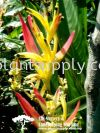 S040401 Heliconia Psittacorum 'Strawberries & Cream' Shrubs