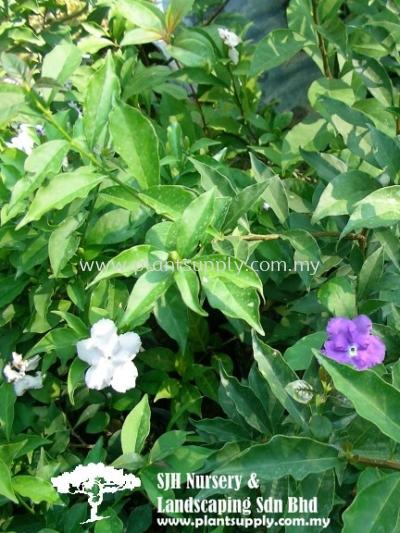 S010805 Brunfelsia Calycina (YTT)