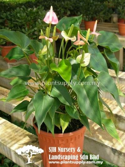 S010603 Anthurium Cultivar