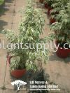 S030805 Ficus Benjamina 'Variegated White' Shrubs
