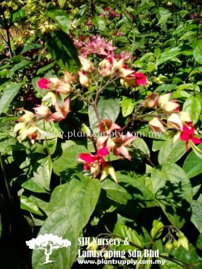 C010405 Clerodendrum Thomsoniae
