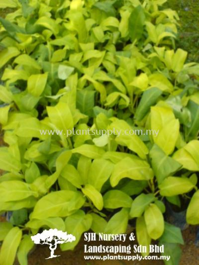C010701 Philodendron Erubescens 'Gold'