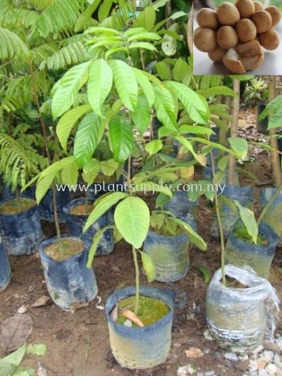 F010104 Duku Langsat Seedling