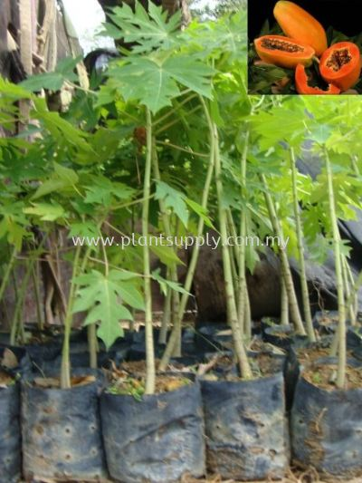 F010305 Papaya Seedling