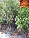 F010103 Coffee Seedling Fruit Seedlings
