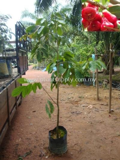F010404 Water Cherry (Jambu Air) Seedling