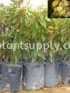 F010201 Durian Kuching Seedling Fruit Seedlings