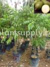 F010205 Kedondong Seedling Fruit Seedlings