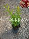 F010401 Pomegranate Seedling Fruit Seedlings