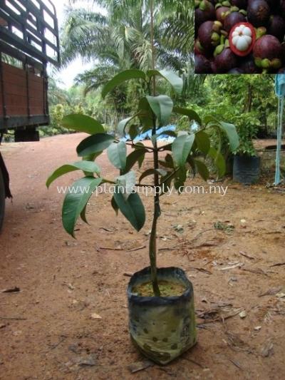 F010304 Mangosteen Seedling