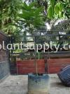 F010303 Mango Seedling Fruit Seedlings