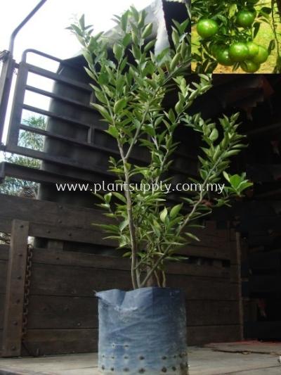 F010302 Limau Madu Seedling