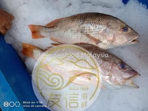 红枣鱼(Golden Snapper)